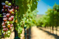 Grapes On A Vine Royalty Free Stock Image - 48688576