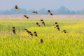 Big Group Of  Lesser Whistling Duck Stock Photos - 48689113