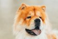 Brown Chines Chow Chow Dog Royalty Free Stock Images - 48693839