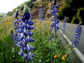 Lupins By The Road Stock Photo - 4872670