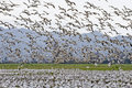 Snow Geese Flock Migrating Royalty Free Stock Photography - 4876407