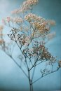 Baby S Breath Artistic Blue And White Royalty Free Stock Image - 48707956