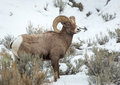 Bighorn Sheep Royalty Free Stock Images - 48711359