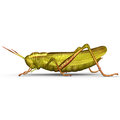Grasshopper Royalty Free Stock Images - 48759579