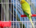 Green Parrot In A Cage Stock Photo - 48781900
