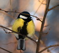 Great Tit Royalty Free Stock Photo - 48783375