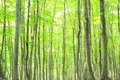 Beech Forest Royalty Free Stock Image - 48797976