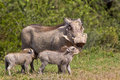 Warthog Mother And Young Stock Photography - 48799572