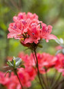 Rhododendron Stock Image - 4883831