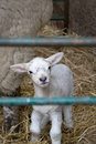 Little Lamb Stock Photography - 4888422