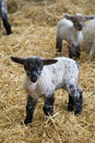 Little Lamb Royalty Free Stock Images - 4888429