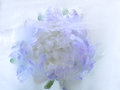 Frozen   Flower Of   Aster Royalty Free Stock Photo - 48810655