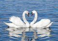 Pair Of White Swans Stock Photography - 48813302
