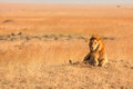 Male Lion In Masai Mara Royalty Free Stock Photography - 48827567