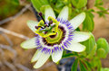 Passion Flower Stock Image - 48839241