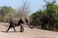 African Elephant In Chobe National Park Royalty Free Stock Photo - 48840105