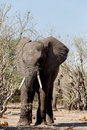 African Elephant In Chobe National Park Royalty Free Stock Image - 48840116