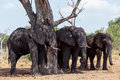 African Elephant In Chobe National Park Stock Photo - 48840120