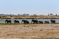 African Elephant In Chobe National Park Stock Photos - 48840123