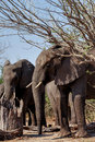 African Elephant In Chobe National Park Royalty Free Stock Photo - 48840395