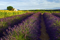 Old Barn In SunFlower And Lavender Fields On The Plateau De Valensole Royalty Free Stock Image - 48848016