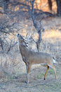 Whitetail Buck Rubbing His Tarsal Glands On Tree Royalty Free Stock Photo - 48873065