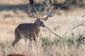 Boone And Crockett Whitetail Buck Royalty Free Stock Photos - 48873148