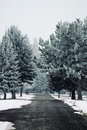 Frosted Evergreen Trees Royalty Free Stock Image - 48879746