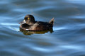 Female New Zealand Scaup Cygnet Royalty Free Stock Images - 48911859