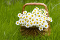 Basket With Daisies Stock Photography - 48926692