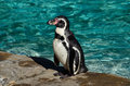 Humboldt Penguin Royalty Free Stock Images - 48945319