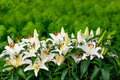 Easter Lilies And Ferns In A Lush Green Garden Royalty Free Stock Photos - 48964708