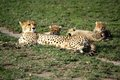 Mother Cheetah And Cubs Royalty Free Stock Photography - 48981807
