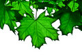 Transparent Green Maple Leafs Stock Photography - 4905452