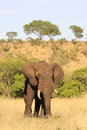 African Elephant Royalty Free Stock Image - 49016586