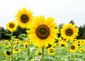 Sun Flower Stock Photography - 49030082