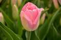 Pink Tulip Royalty Free Stock Images - 49039629