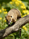 South American Coati On Branch Stock Images - 49047514