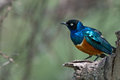 Superb Starling Stock Images - 49048304