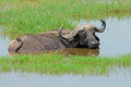 African Buffalo In Water Stock Photo - 49076410