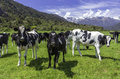 Dairy Cows Royalty Free Stock Photos - 49088278