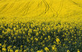 Yellow Fields Stock Images - 49093844