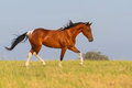 Pinto Horse Trotting In Summer Field Stock Photos - 49099993