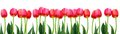 Group Of Flowers Pink Tulips On White Background Royalty Free Stock Photo - 49104495