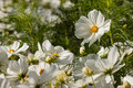 Blooming White Cosmos Flowers Royalty Free Stock Photography - 49114437