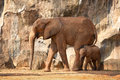 Suckling Baby African Elephant With Mum. Stock Image - 49131481