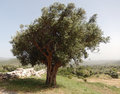 Olive Tree In Greece Stock Image - 49146771