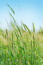 Young Flowering Spikes In Field Royalty Free Stock Photo - 49159875