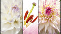 Collage Of Flowers In Lila White Royalty Free Stock Photo - 49166545