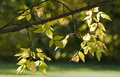 Ash Tree Leaves In Autumn Royalty Free Stock Photo - 49174115
